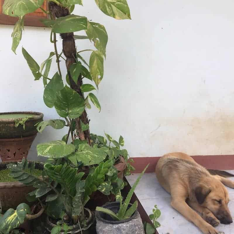 Air cleaning plants philodendron