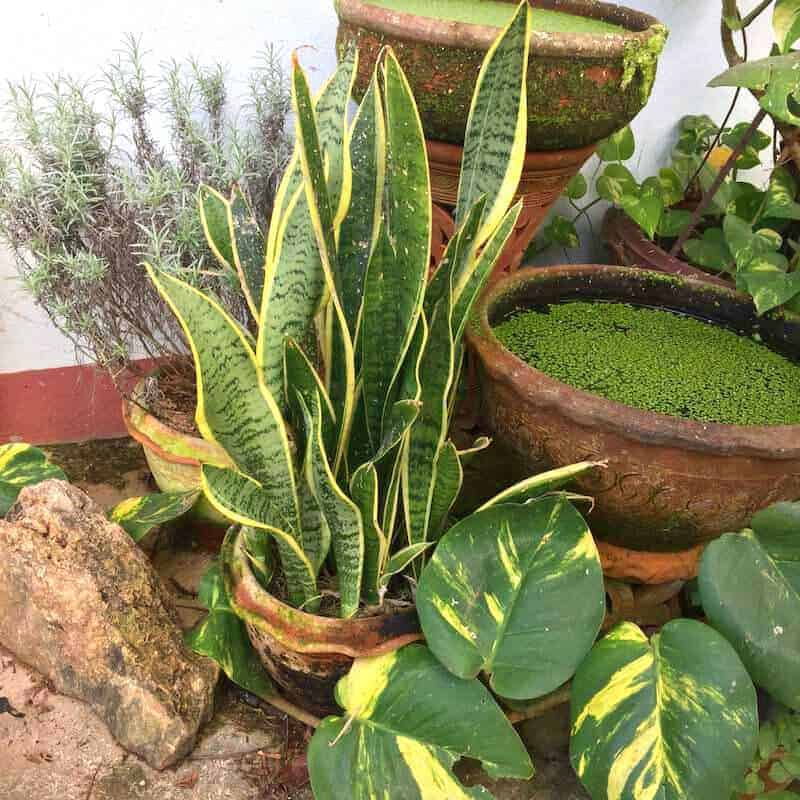 air purification plants philodendron