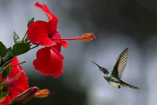 hibiscus tea flower