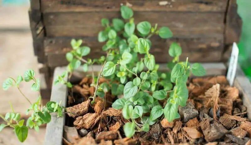 Potted Oregano plant